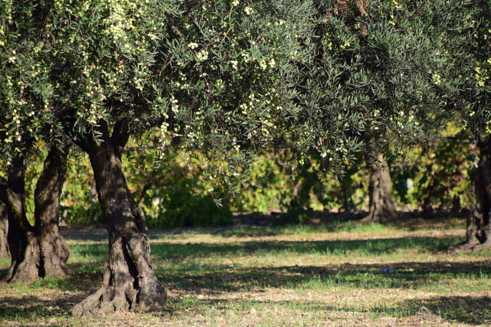 oliven-baum-tar-istrien-oel-exclusive-living-villa-kroatien