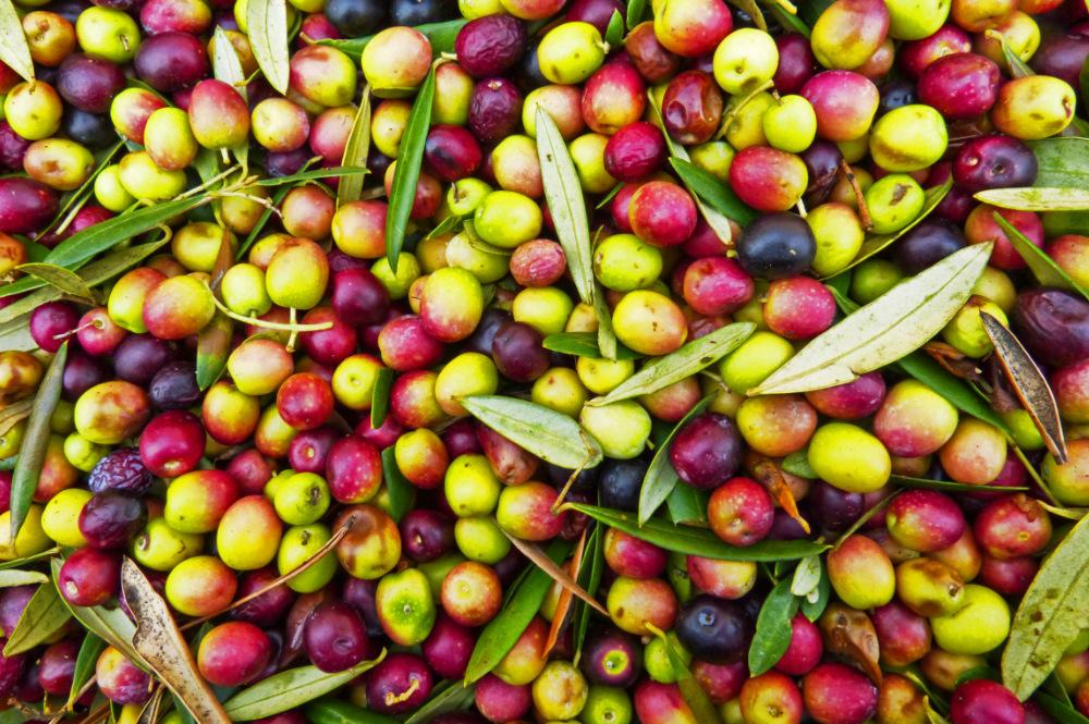 oliven-ernte-tar-istrien-oel-exclusive-living-villa-kroatien